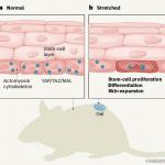 Растяжение кожи активирует стволовые клетки, которые создают новую кожу